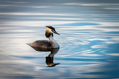 Podiceps cristatus (Great crested grebe, fuut)