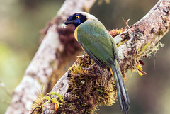 IMG_6739 Inca Jay (suebmtl) Tags: bird birding ecuador napoprovince sanisidro inca jay greenjay cyanocoraxyncas