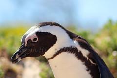 Penguin (dreamer2207) Tags: canon600d 600d canon wildpenguin sa southafrica bouldersbeach penguin