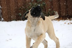 "Socrates chasing snowflakes ""snowflakes falling on my head"" English Mastiff English Mastiff Snow Puppy Puppy Play Dog Winter Snow (milehighfordguy) Tags: englishmastiff englishmastiffsnow puppy puppyplay dog winter snow"