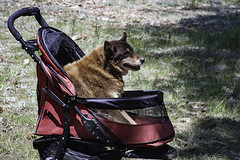"6064-DogStroller • <a style=""font-size:0.8em;"" href=""http://www.flickr.com/photos/65461142@N04/35602948700/"" target=""_blank"">View on Flickr</a>"