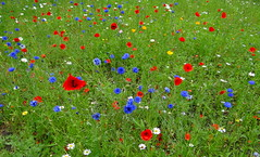 Genesis (Ian Robin Jackson) Tags: wildflowers scotland aberdeen summer sony zeiss nature