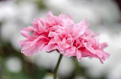 Soft colours in my garden (Mariannevanderwesten) Tags: pink roze nikon nature natuur anjer bloem