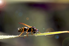 Abeilles en pleine nature (Doriane Boilly Photographie Nature) Tags: abeille biodiversité nature matin miel