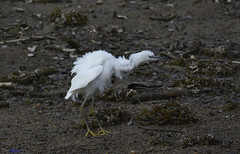 Little Egret (shaking them feathers) (spw6156 - Over 5,680,600 Views) Tags: little egret shaking them feathers iso 800 cropped copyright steve waterhouse