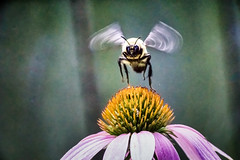 take-off (yaz62) Tags: echinacea flowersplants bee insect july2017 sigma18300mmf3563dcmacrooshsm|contemporary