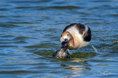 That's going to leave a mark! (craig goettsch) Tags: americanavocetrecurvirostraamericana hendersonbirdviewingpreserve2017 bird avian earedgrebe nature wildlife fight nikon d500