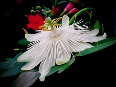 White Passion (Pufalump) Tags: passionflower petals white red black spikes spikey green passion rhs tattonpark