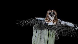 Tawny Owl DSC_2851