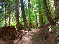 The trail that leads home (walneylad) Tags: capilanoriverregionalpark northvancouver westvancouver britishcolumbia canada capilanoriver canyon park parkland urbanpark forest rainforest urbanforest woods woodland trail trees bridge creek brook stream water ferns leaves bark stump evergreen green brown sun sunshine shadows bluesky clouds light shade summer july afternoon view nature scenery