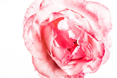 Pink Rose In Macro (Peter Greenway) Tags: wpg pinkrose flickr petergreenway macroflowers rose macro flower pinkflower