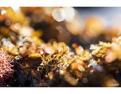 Beautiful Bokeh (red stilletto) Tags: oceangrove oceangrovebeach bellarinepeninsula ocean oceanbeach sea water sunrise seaweed kelp bokeh macro