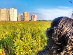 Зверушки 0386 (2016.05.21) (vladsky78) Tags: ильичёвск небо животные зелень поле собака