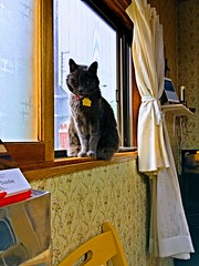 Morning Shift (sjrankin) Tags: 16july2017 edited animal cat argent autoprocessed processed window windowsill kitchen yubari hokkaido japan