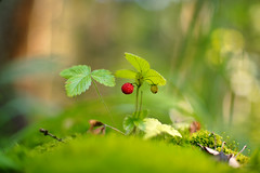 Fragaria (Yuri Macsimov) Tags: forest nature macro sunlight summer bokeh background closeup leaf plant grass dof blur flora agriculture outdoors fruit moss growth no person fair weather fragaria pentax k1 50 50mm a50mmf12 smcpa50mmf12 pentaxa50mmf12