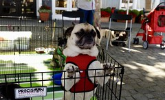 Impatient Pug (Poochie, a Dog on the Internet) Tags: dog pug rescue depthoffield paws