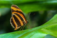 20170715-IMG_7294 (SGEOS@EARTH) Tags: vlindertuin vlinder vlinders butterfly butterflies vlindersaandevliet observer colorfull insects nectar indoor nature wildlife canon macro 100mm