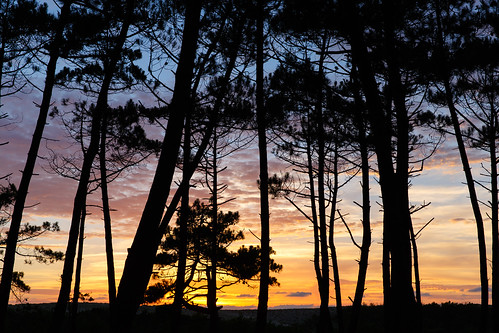 Sunset through the pine forest