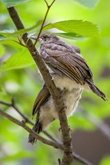 20170610-IMGP8895.jpg (Yunhyok Choi) Tags: feather beak tree nature brownearedbulbul wing nest summer bird wildlife fledgling animal hwaseongsi gyeonggido southkorea