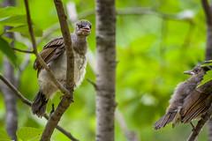 20170610-IMGP8861.jpg (Yunhyok Choi) Tags: feather beak tree nature brownearedbulbul wing nest summer bird wildlife fledgling animal hwaseongsi gyeonggido southkorea