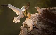 fresh supplies for the new nest (ciwi.photography) Tags: gannets bastölpel tölpel basstölpel gannet hegloland breeding spring frühling flying nest colony cliff felsen rock northern