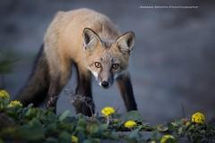 Curious Fox (namra38) Tags: washington wildlife wild eyecontact curious redfox fox armanwerthphotography