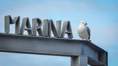 Marina Gull (Theen ...) Tags: block blue functioncentre gate hobart letters lumix marina metal pier seagull sign signage sky theen waterfront