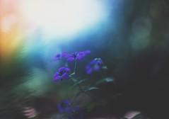 little flowers (coral staley-hall) Tags: flowers bokeh moody dark purple canon 85l 12l macro blur sunset dof