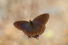 Great sooty satyr (gillian.pullinger) Tags: butterfly greatsootysatyr rimplas frenchalps wildlife