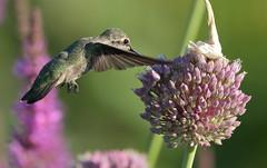 Anna's Hummingbird (Eric_Z) Tags: annashummingbird hummingbird garlicflower coquitlam britishcolumbia canada canoneos7dmkii explored ef100400mmf4556lisiiusm