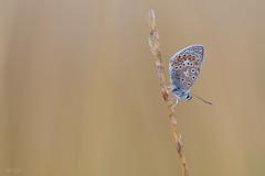Morning Dew (Thijs de Bruin) Tags: morningdew commonblue icarusblauwtje grass meadow natuur nature druppela dauw macro dew