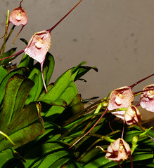 Dracula erythrochaete 'Marion' species orchid (nolehace) Tags: dracula erythrochaete marion species orchid 617 cultivar flower bloom plant summer nolehace fz1000 sanfrancisco