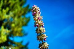 Liatris Flower (Khalid H Abbasi) Tags: sonydscrx100m3 flower longford coventry england longfordpark macro bokeh nature outdoors sky blue green