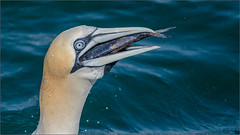 Lunchtime (Explore! 20.07.17) (bretton98) Tags: eastcoast gannets diving davidwhitephotographybretton98 canon5dmkiii fish sea bretton98 outdoors portrait feeding yorkshirecoastnature explore