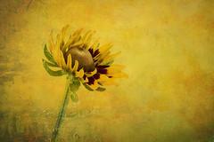 Black Eyed Susan (anitabower) Tags: flower native wildflower mygarden blackeyedsusan rudbeckia
