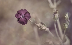 Some days I am the flower, some days I am the rain. (Zara Calista) Tags: flower bokeh dream soft nature purple nikon lychnis coronaria rose campion