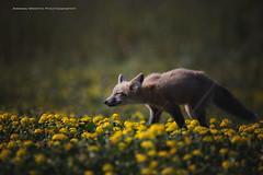 Stop and smell the flowers (namra38) Tags: armanwerthphotography redfox washington washingtonstate wild wildlife
