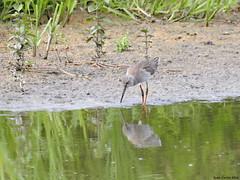 Common Redshank (Corine Bliek) Tags: tringatotanus bird birds vogel vogels nature natuur wildlife wader water lake meer