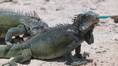 Leguanen (e.vanhaarst) Tags: iguana nature caribbean animal amerika antillen caraïben dieren bonaire leguaan vakantie natuur