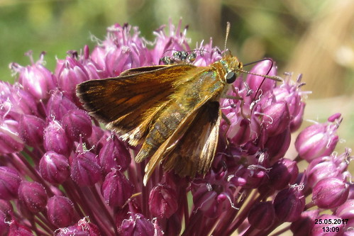 cf. Lulworth skipper (MakGi)