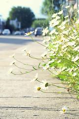 Sidewalk bouquet (Kap-) Tags: marguerites daisies fleurs flowers rue street trottoir sidewalk pavement ciment