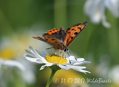Small copper butterfly in front of the main hide