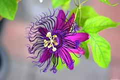 Passiflora Stefano Capitanio (_pkm_photography (thanks for 750K views)) Tags: pkmphotography2017 dslr nikon d700 nikond700 tokina atxprotokinamacro100f28d sooc passiflora