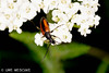 Bockkäfer (binax25) Tags: bockkäfer käfer bug beetle tier anmial insekt insect fauna natur sommer summer dolde braun weis fühler flügel