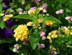 1 Yellow and Green Perfection (Robert Cowlishaw (Mertonian)) Tags: lunchwalk nature curvy wonder awe veins blossoms canonpowershotg7xmarkii markii g7x powershot canon robertcowlishaw perfection beautiful ineffable flowers mertonian pink green purple yellow