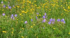 (:Linda:) Tags: germany thuringia town hildburghausen chicory meadow hawksbeard
