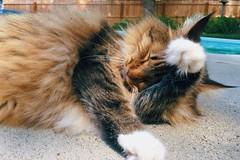 Sunbathing Cat (backbeatb00gie) Tags: licking cleaning backyard swimmingpool elsie sunny summer cat