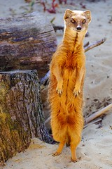 Mangouste jaune  Yellow Mongoose (claude 22) Tags: roadsafari safaripark woburn bedfordshire uk england animal wildlife nature natural animaux sauvages yellow mongoose cynictis penicillata mangouste jaune fujinon fuji xf18135mm xt1
