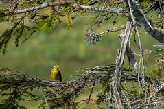 Bruant jaune (JeanJoachim) Tags: bruantjaune emberizacitrinella yellowhammer passeriformes emberizidae oiseau bird vogel aves uccello fågel fugl pássaro バード lintu птица ptak pentaxk5iis smcpentaxda300mmf4edifsdm goldammer