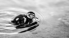 Duckling (CecilieSonstebyPhotography) Tags: bokeh duck beak cute closeup water duckling bw outdoor canon animal pond markiii oslo feathers canon5dmarkiii blackandwhite 135mmf18dghsmart017 bird specanimal